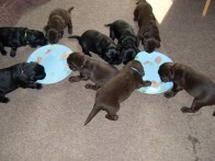 (226, 227, 228, 229, 230, 231, 232, 233, 234) The flatcoated retriever pups