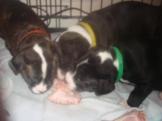 (390) SBT Pups 3, 4 and 5