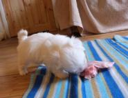(410) Coton Pup
