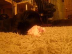 (55) The labrador puppies 8