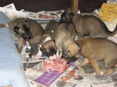 (35, 36, 37, 38, 39) The lurcher pups