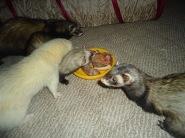 (9) Pixie, Yogi, Sian and Hiko
