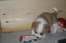 (433) The Corgi Pups