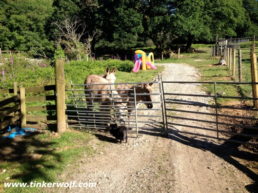 Ted meeting the donkeys